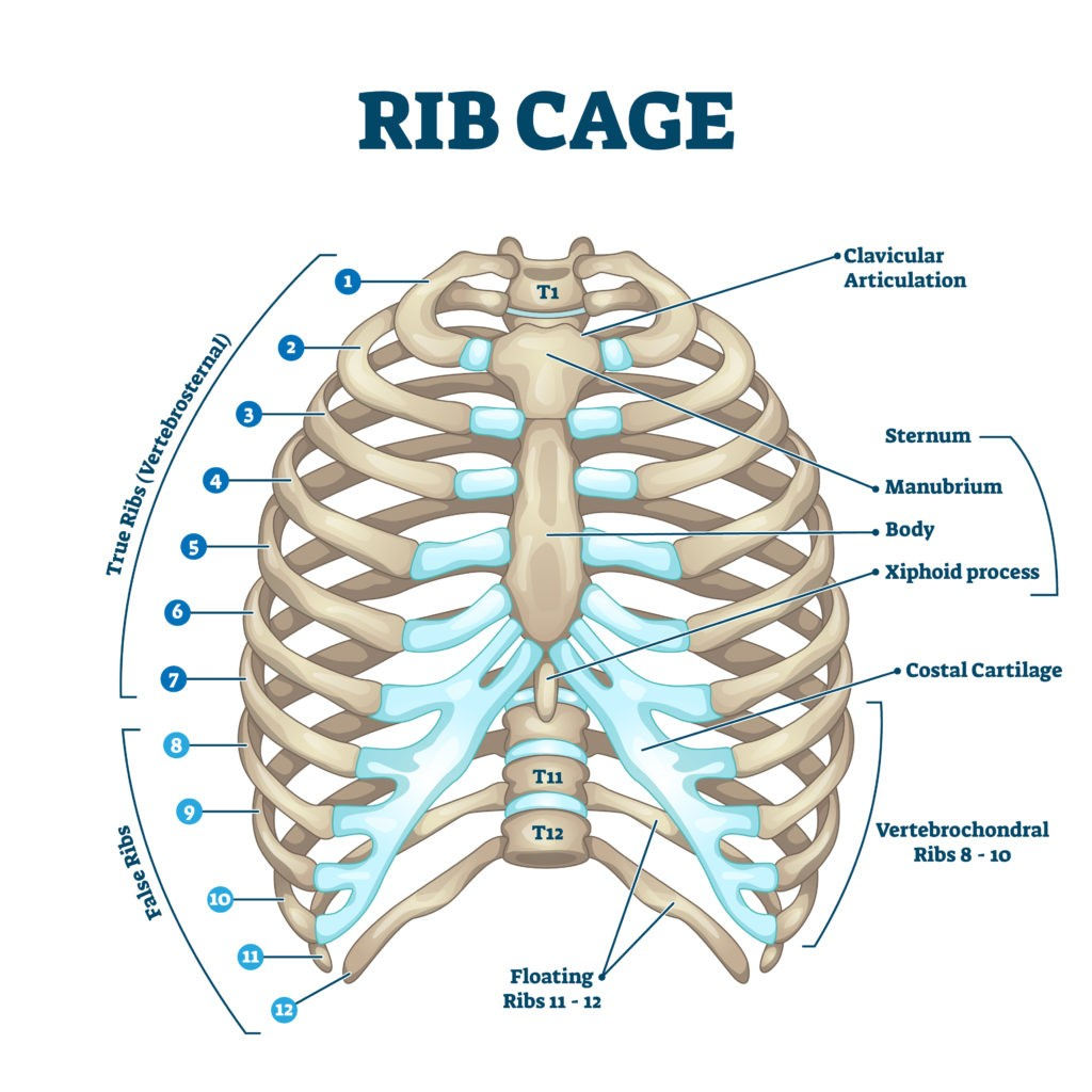 anatomy of rib cage showing where cartilage breaks down resulting in Costochondritis